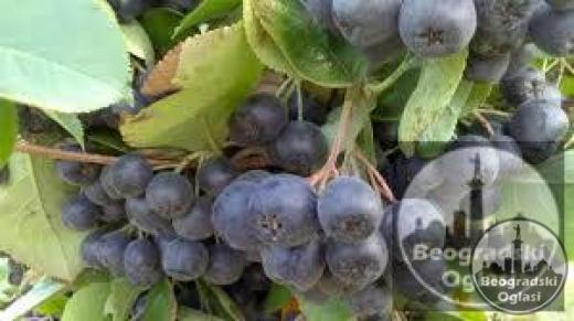 Organski uzgojena aronija - sveže ubrani plodovi