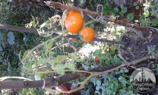 Seme paradajza