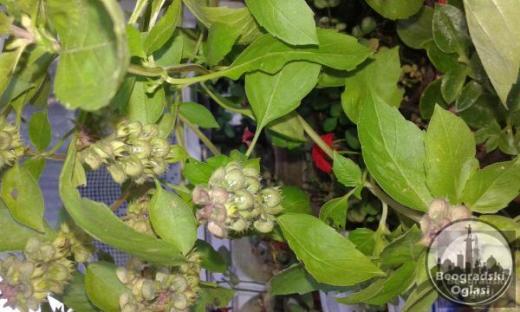 Seme zacinskog bilja
