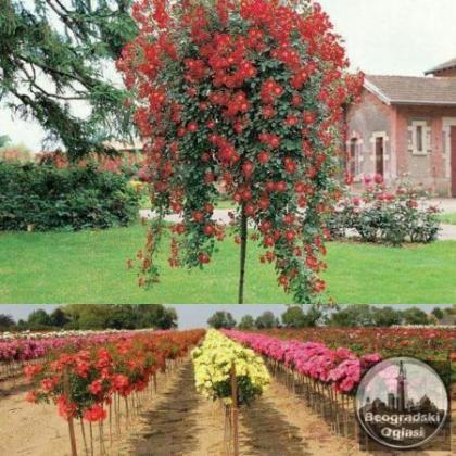 Sadnice ruza stablasica