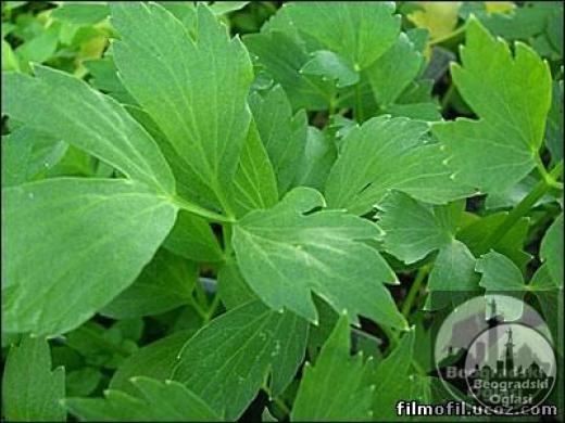 SELEN zacinska biljka DOMACE SEME