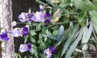 Iris i zelenog i sarenog lista