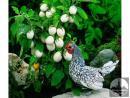 Solanum melongena Kinder jaje