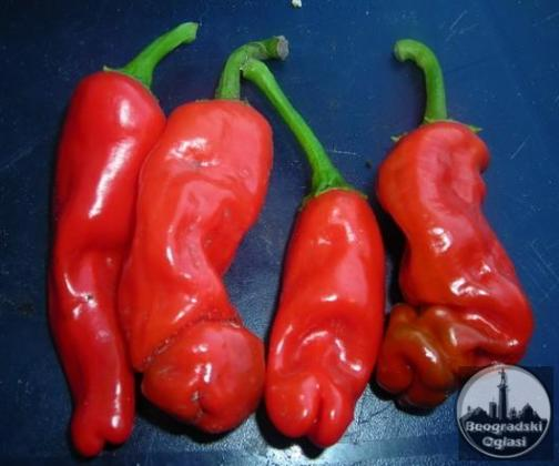 Penis chili crvena (veoma ljuta paprika)