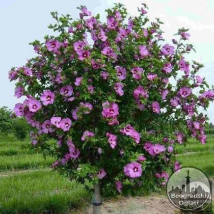 Bastenski hibiskus-Hibiscus syriacus-seme