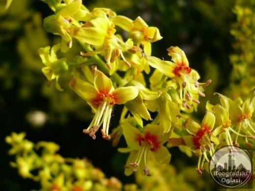 Drvo lampion-Koelreuteria paniculat-seme