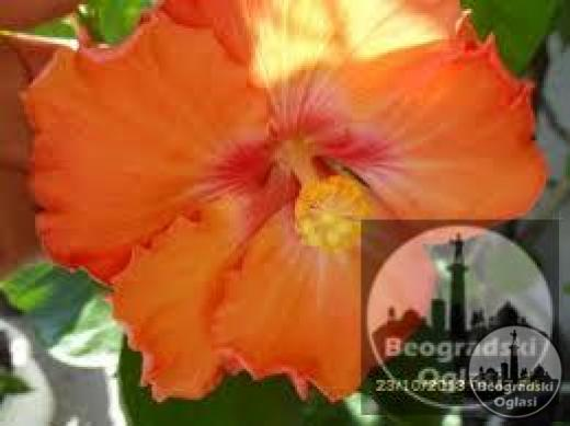 Močvarni hibiskus (HIBISCUS MOSCHEUTOS)