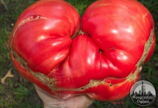 Paradajz Omar`s Lebanese-plodovi do 1kg DOMACE seme