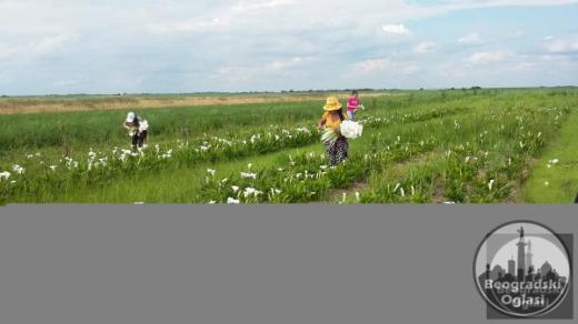 Plac u Jabuci 115ari za intezivnu proizvodnju rezanog cveta