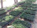 Sibirski limun sadnice
