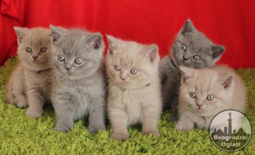 Britanski kratkodlaki mačići
