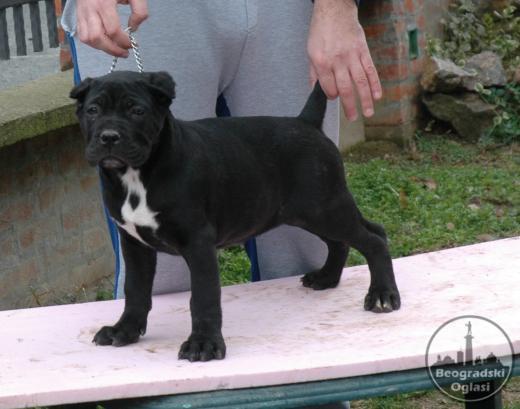 Cane Corso žensko štene