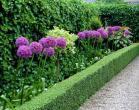 Ukrasni luk Allium giganteum