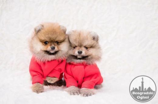 Čistokrvni štenci pomeranca