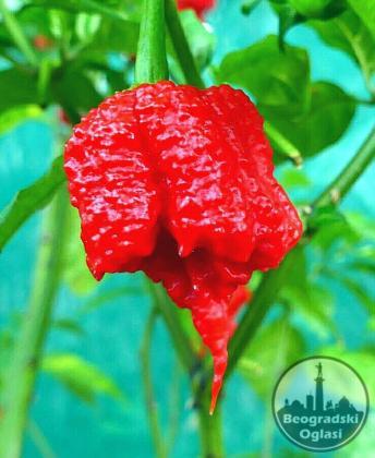 Semena najljucih chilli paprika na svetu