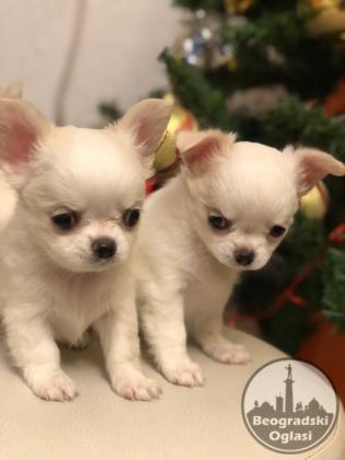 Dugodlake bele čivave štenci