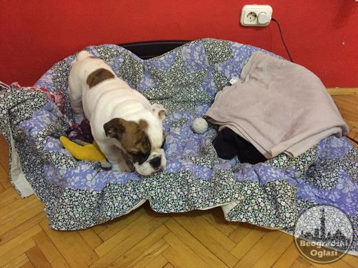 Engleski Bulldog muško štene na prodaju