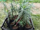 Krticarka biljka protiv krtica Seme
