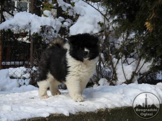 Američka Akita, dugodlaki štenci