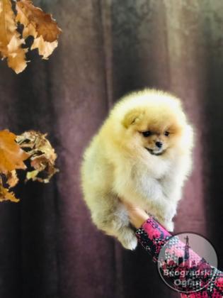 Pomeranski špic,Pomeranac,Pomeranian,Boo štenci