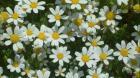 Kamilica seme