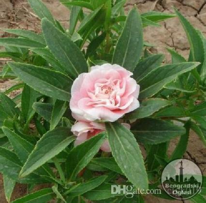 Bozur-Garden Balsam