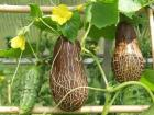 Indijski mrežasti krastavac organsko seme