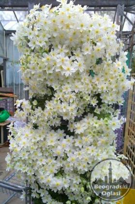 Puzavica-Biljke penjacice Clematis bonsai(142)