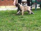 Bullmastiff štenci
