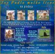 Toy Pudla muško štene na prodaju