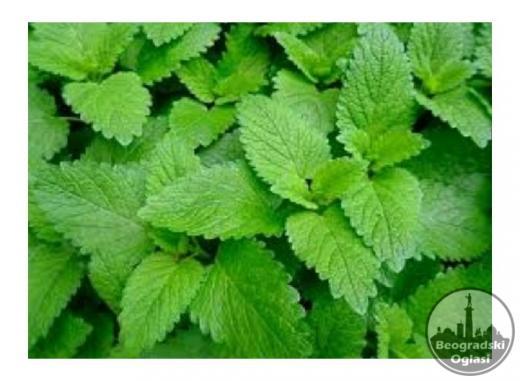 Maticnjak- Lekovita biljka i zacin-Rasad