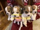 Pravilno Beagle Pups za rehoming.