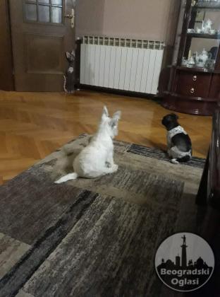 Westi terijeri štenci