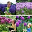 Ukrasni luk - gigante Allium