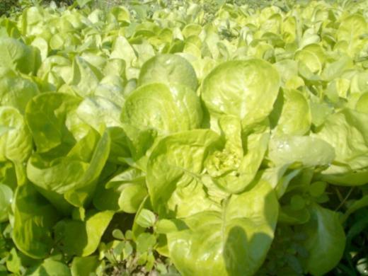 Zelena salata sadnice