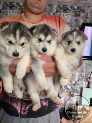 Lijepi sibirski Husky štenad kontaktirajte me preko (whatsapp +32460211610) ili (viber 237679571657)