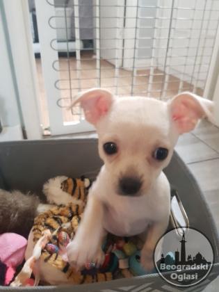 Psi i štenad Chihuahua na prodaju