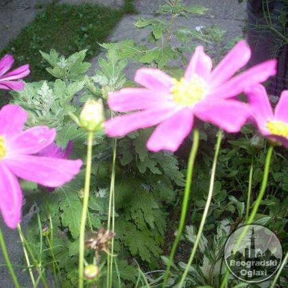 Kozmeja lila i roze