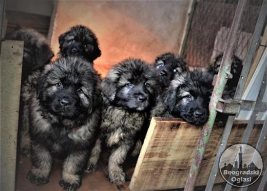 Sarplaninci stenad i mladi psi