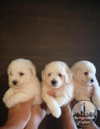 BIŠON štenci oba pola