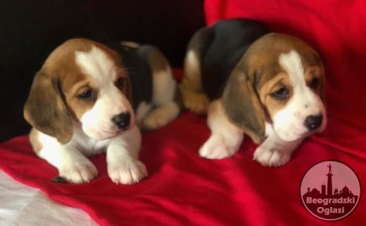 Beagle štenad