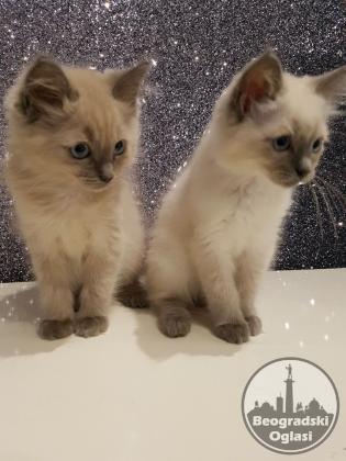 Ragdoll mačići