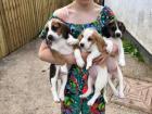 Odličan i super razigran beagle