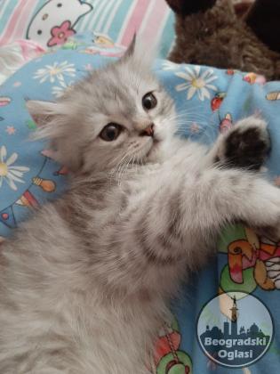 Prodaja persijskih macica