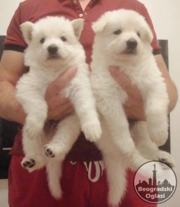Beli švajcarski ovčar štenci