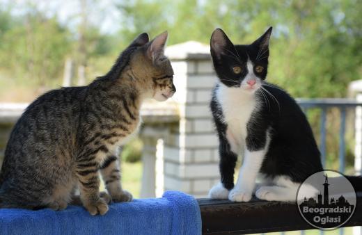 Poklanjam brižljivo odnegovane mačiće