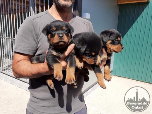 Rotvajler štenci