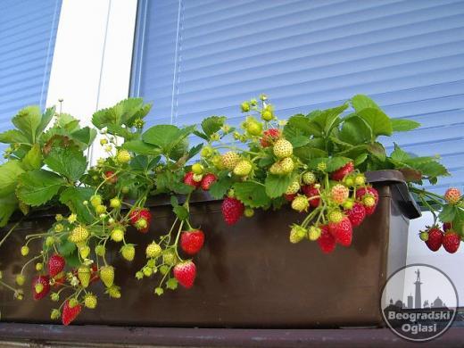 Sadnice stalnoradjajuce jagode - nemacka sorta