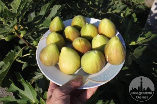 Smokva krupnih plodova (Kontejnirane sadnice)
