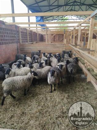 Romanovske umaticene ovce